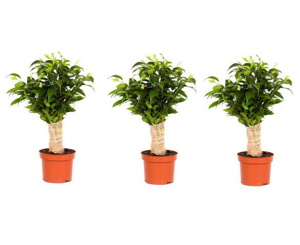 Set van 3 Ficus Jute Stam